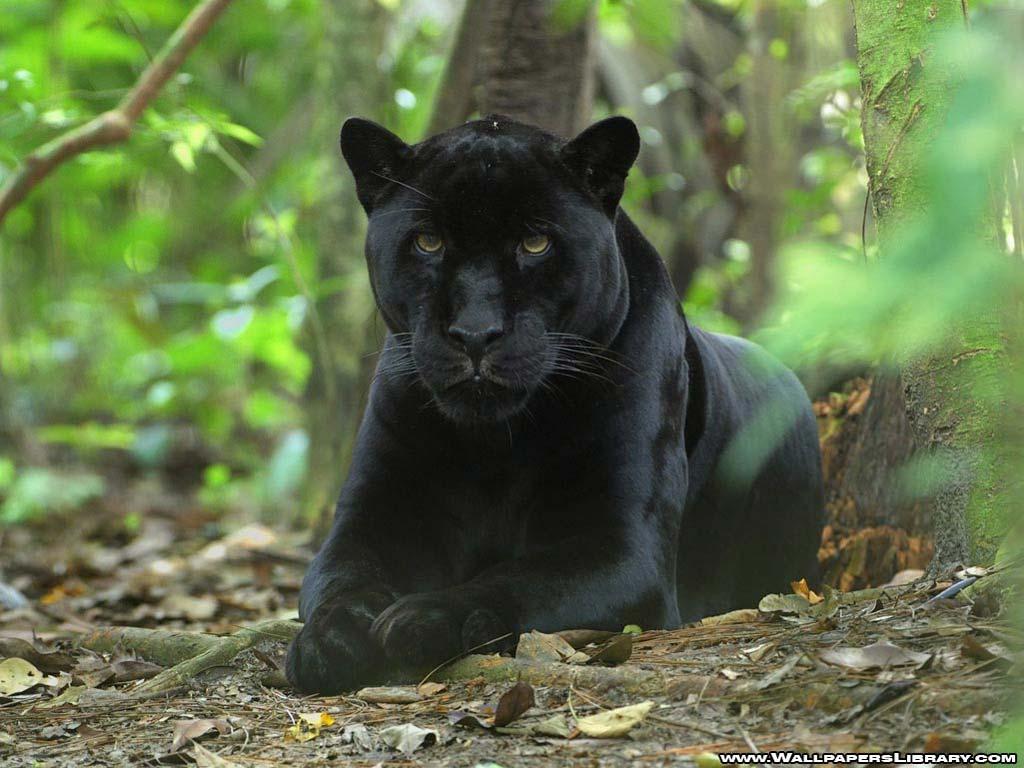 Black Puma nude 624