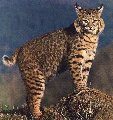 Lynx Vs Bobcat