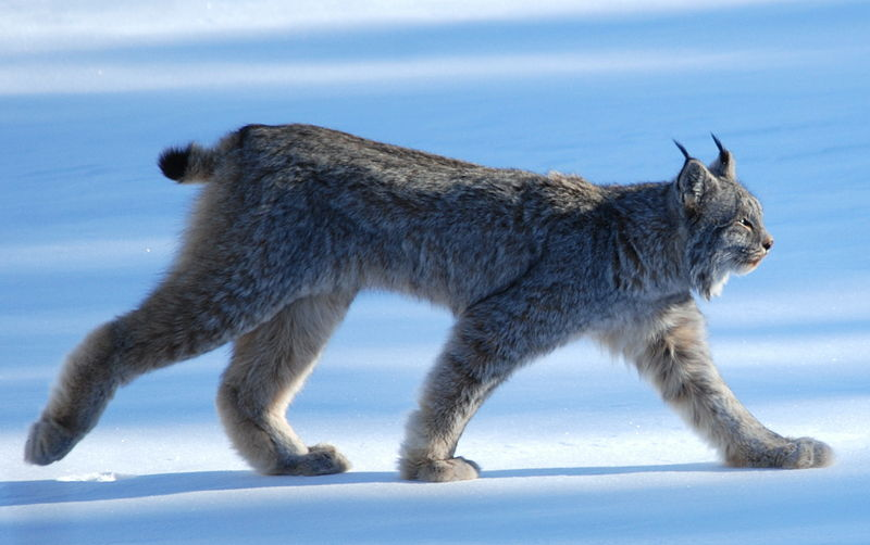 Worksheet. The Difference between the Canadian Lynx and Bobcat  Great Cats