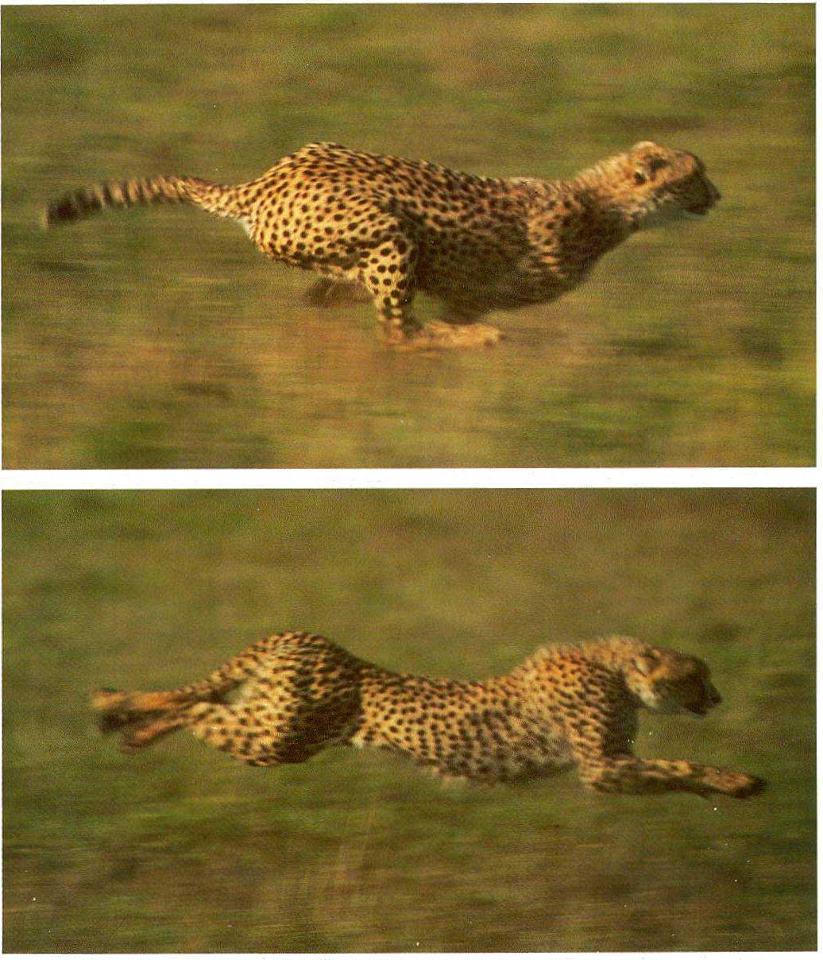 Jaguar Animal Running Full Speed