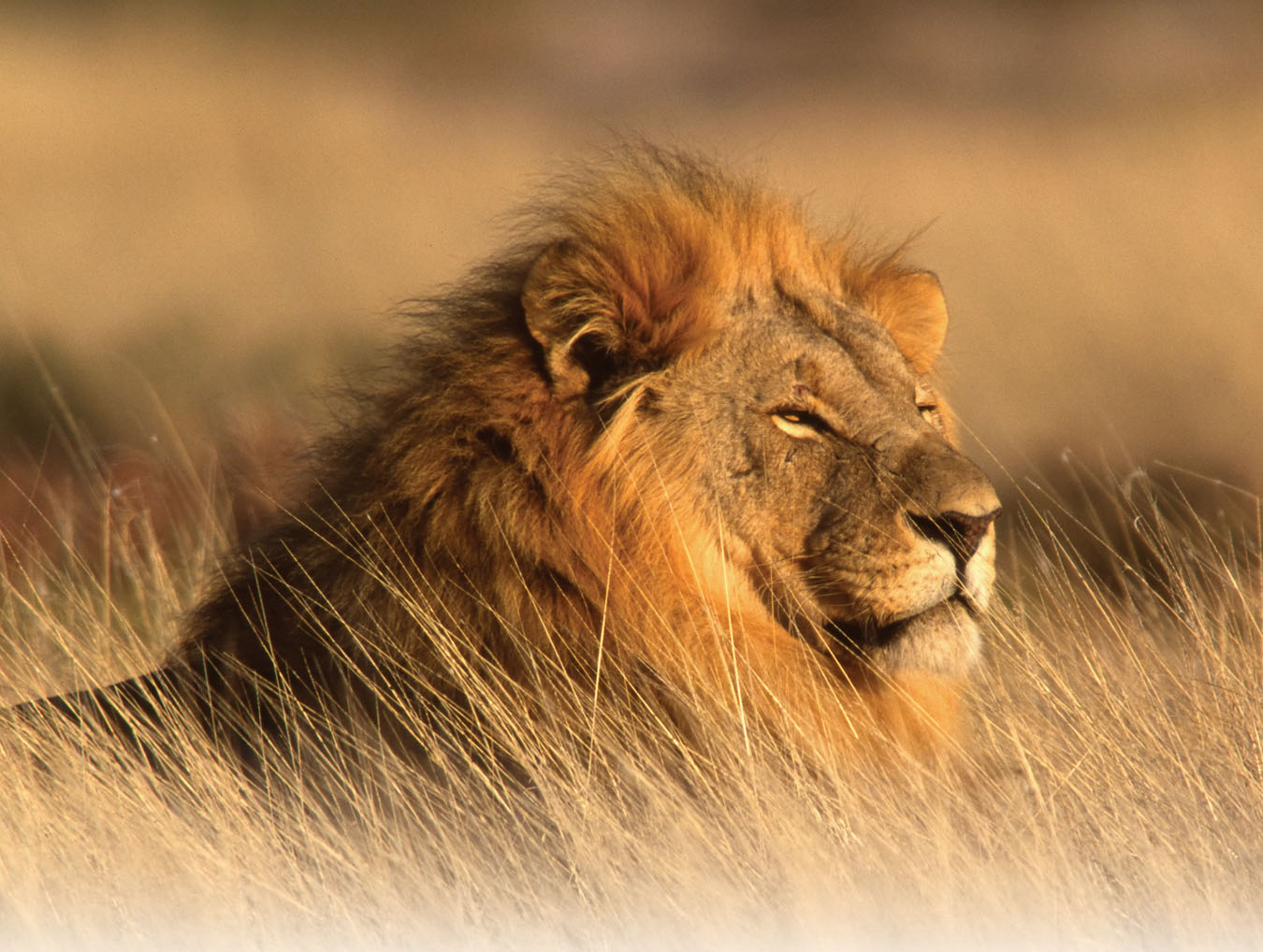 african lions - photo #19