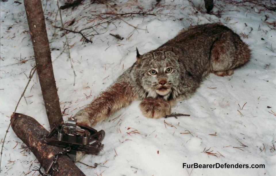 Show Me A Picture Of A Bobcat >> Please sign and share these 6 petitions against animal trapping – which causes pain, suffering ...