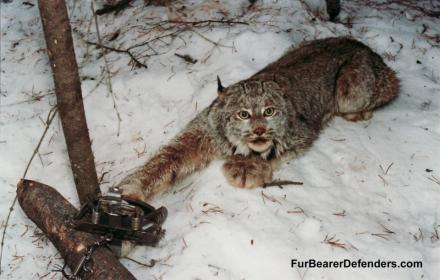 Please sign and share these 6 petitions against animal trapping - which causes pain, suffering and death