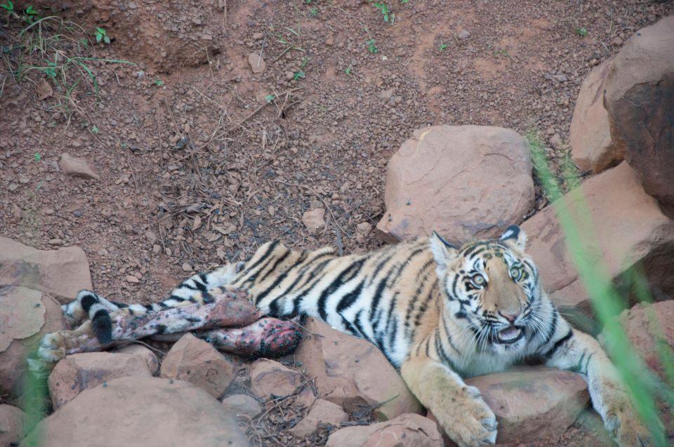 animal poaching tigers - photo #37