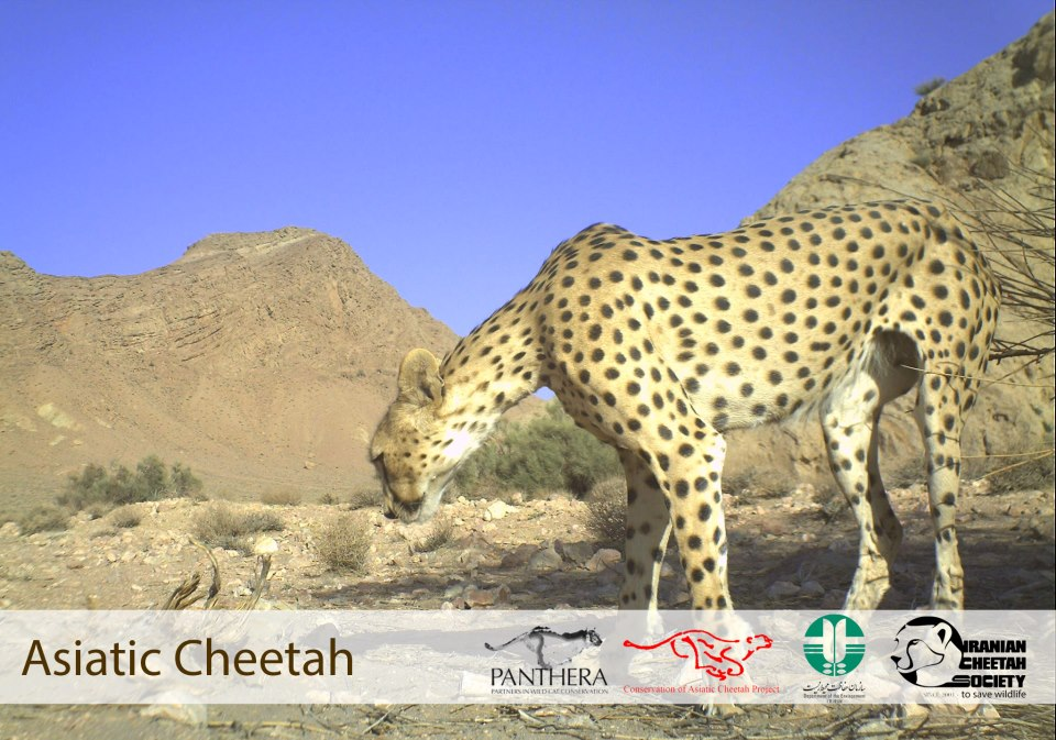 the asiatic cheetah The cheetah is the fastest land animal in the world [6] the head and body of the adult asiatic cheetah measure from 112 to 135 cm with a tail length between 66 and 84 cm.