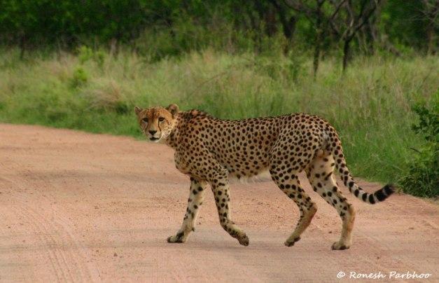 Ronesh Parbhoo Wildlife Photography