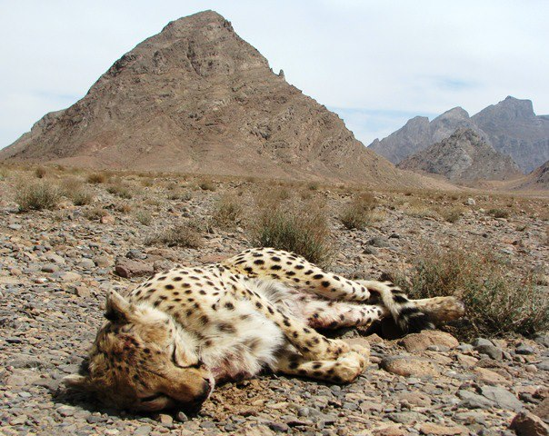 Asiatic Cheetah | Great Cats of the