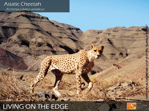 Cheetahs of Iran