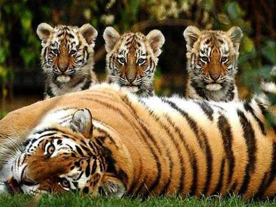 """ROARrrrr for Jungle Tiger 