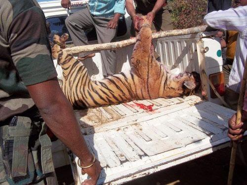 Tigress shot Dead