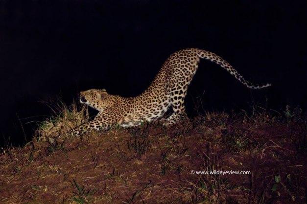 Jobes Leopard