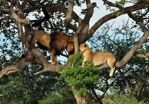lion aid