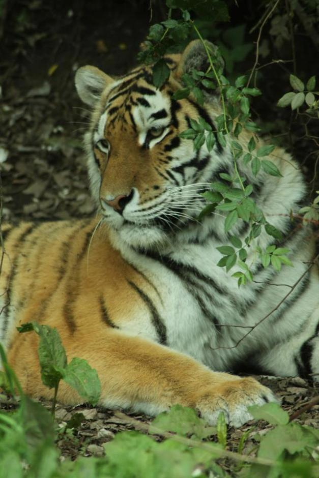 6 Tiger Challenge