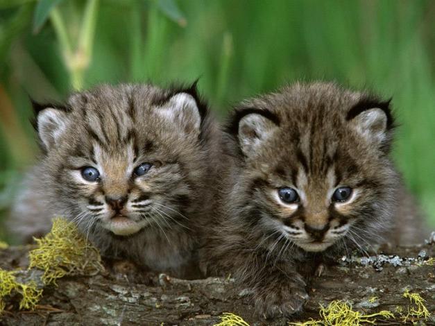 Bobcat petition