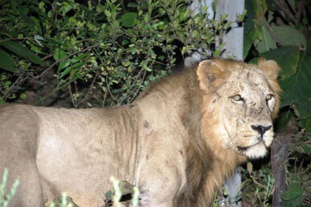 Roar for the Asiatic lion
