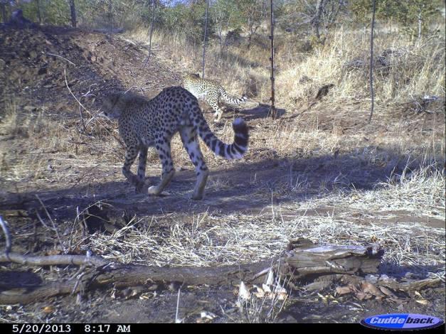 Cheetah Zimbabwe