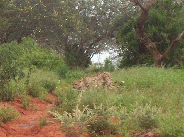 Tsavo Cheetah Project