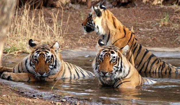 planete tigre