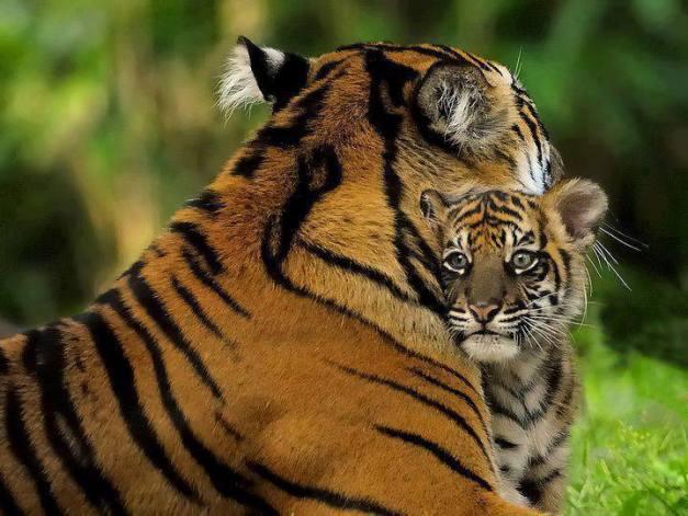 roar for jungle tiger