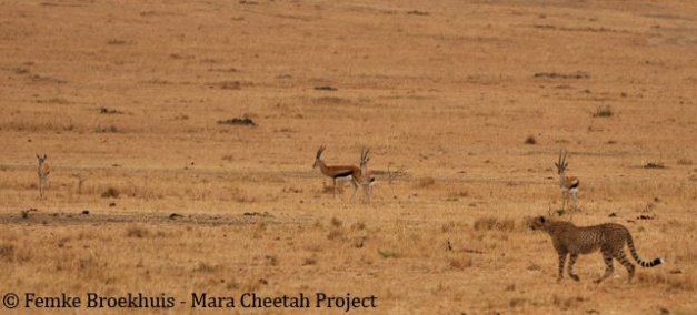 Maasai Mara Cheetah Project'