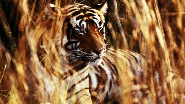 amit tiger