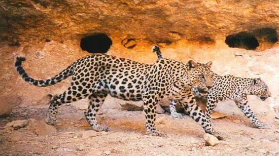 Leopardová