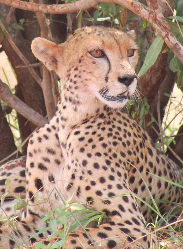 Tsavo Cheetah Project