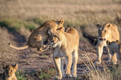 Lion cub and lioness in Naboisho Conservancy, Masai Mara, Kenya by Marja Schartz